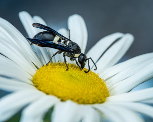 Wasp drinking sweet pollen and sitting on chamomile flower in garden in daylight