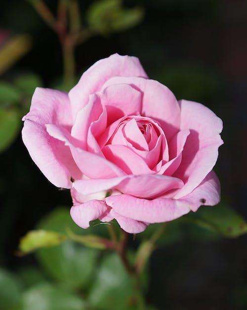 フローラ, マクロ, ローズ, 咲くの無料の写真素材