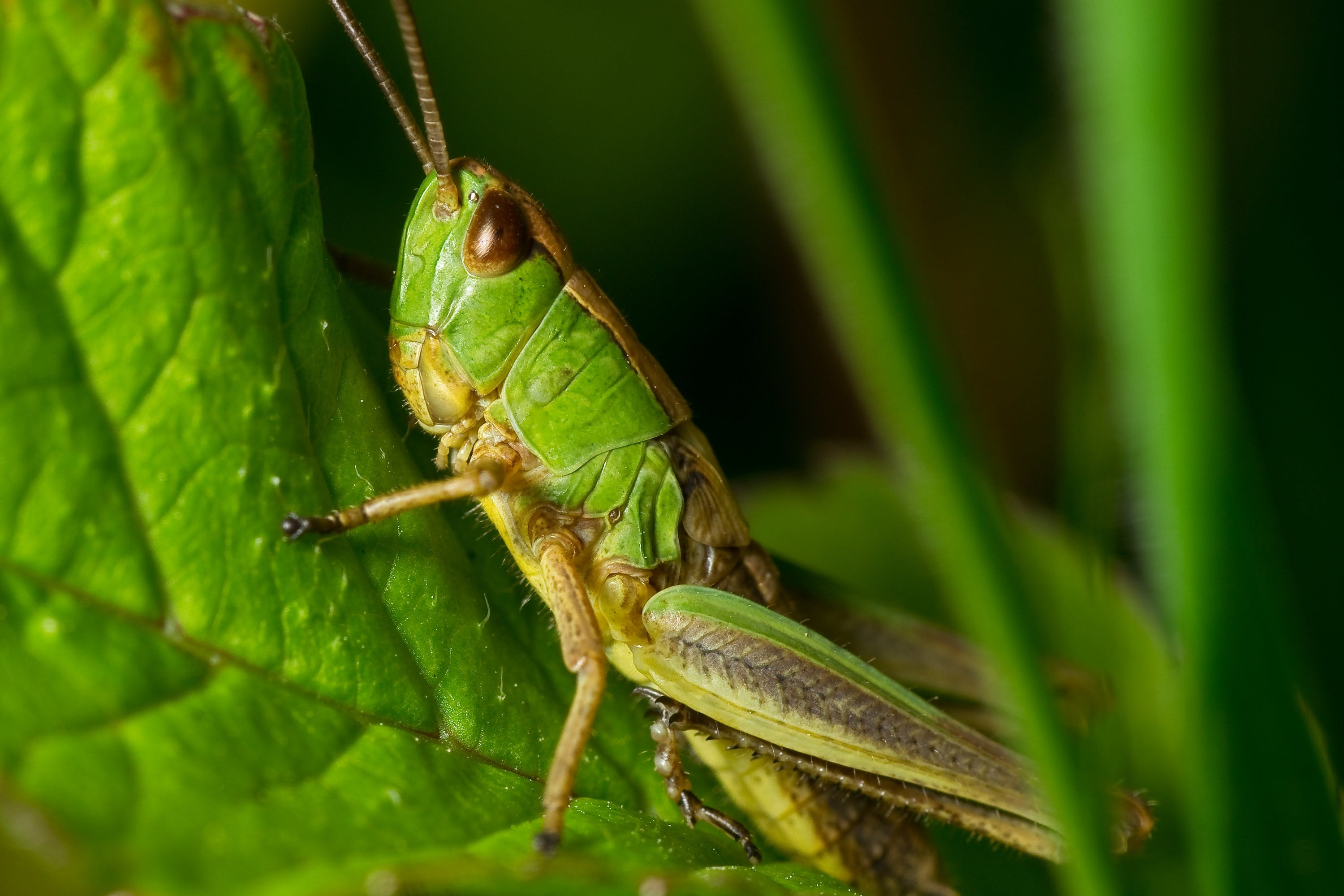 Grasshopper Green and Yellow