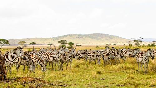 Photos gratuites de afrique, animaux, camp de brousse du serengeti en tanzanie