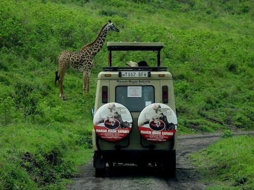 Základová fotografie zdarma na téma africké divoké zvěře, Afrika, auto