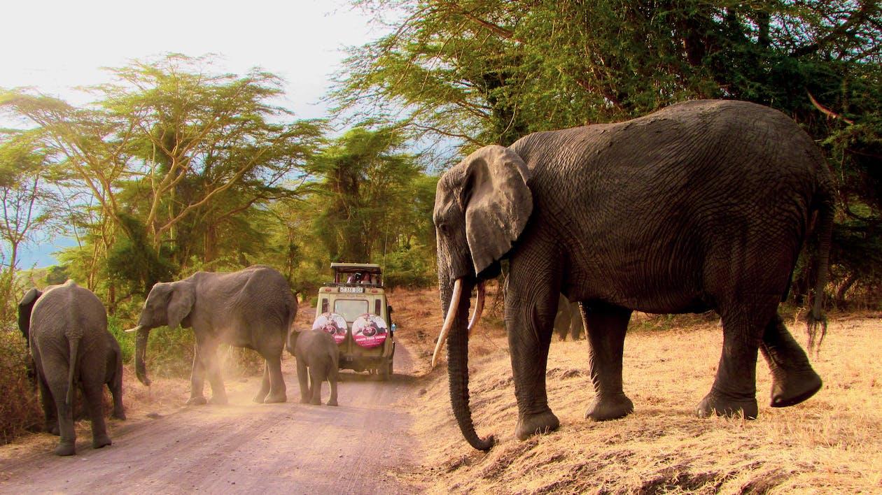 Elephant and Elephant Walking on Dirt Road
