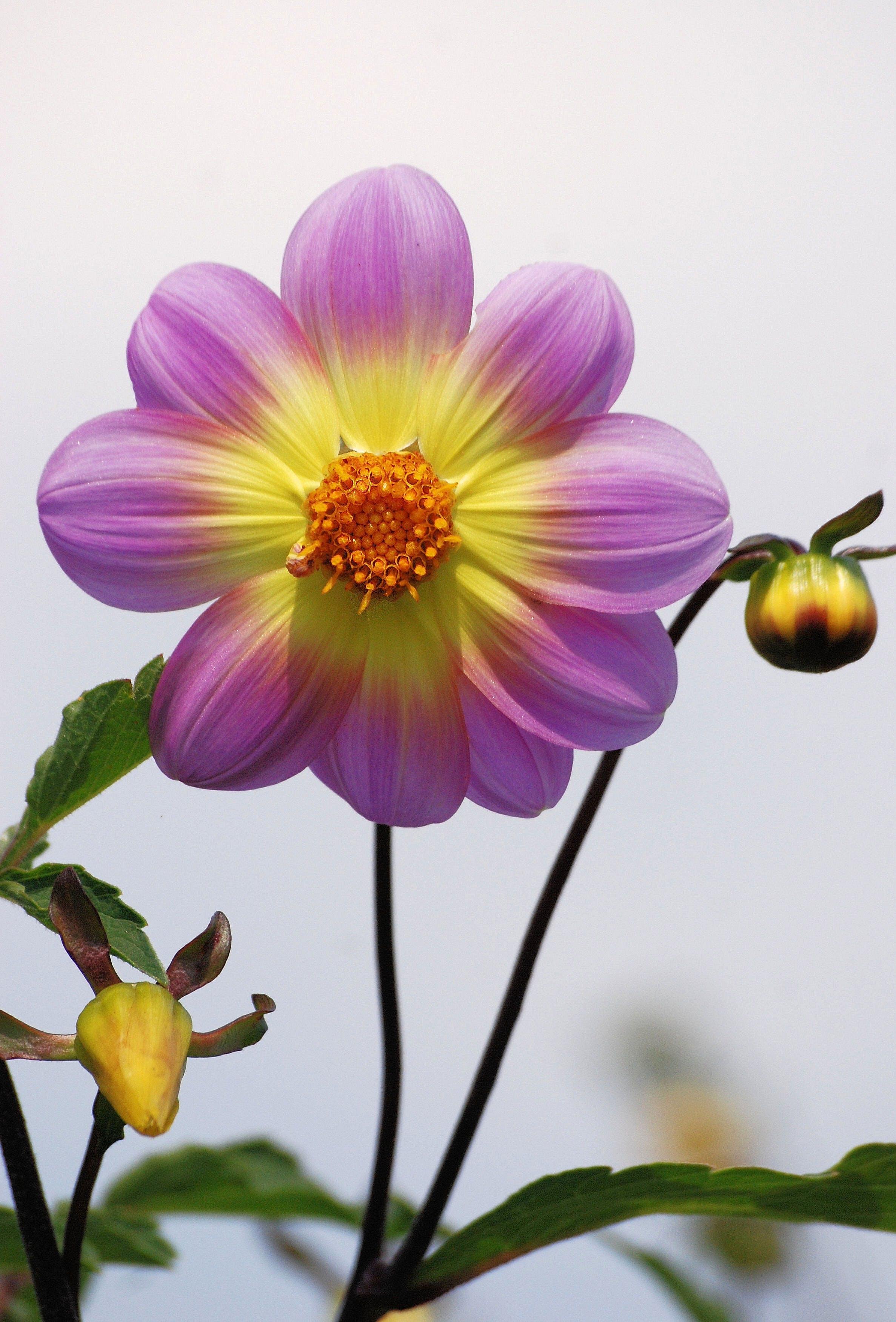Immagine gratuita di boccioli di fiori, bocciolo, fiore, flora