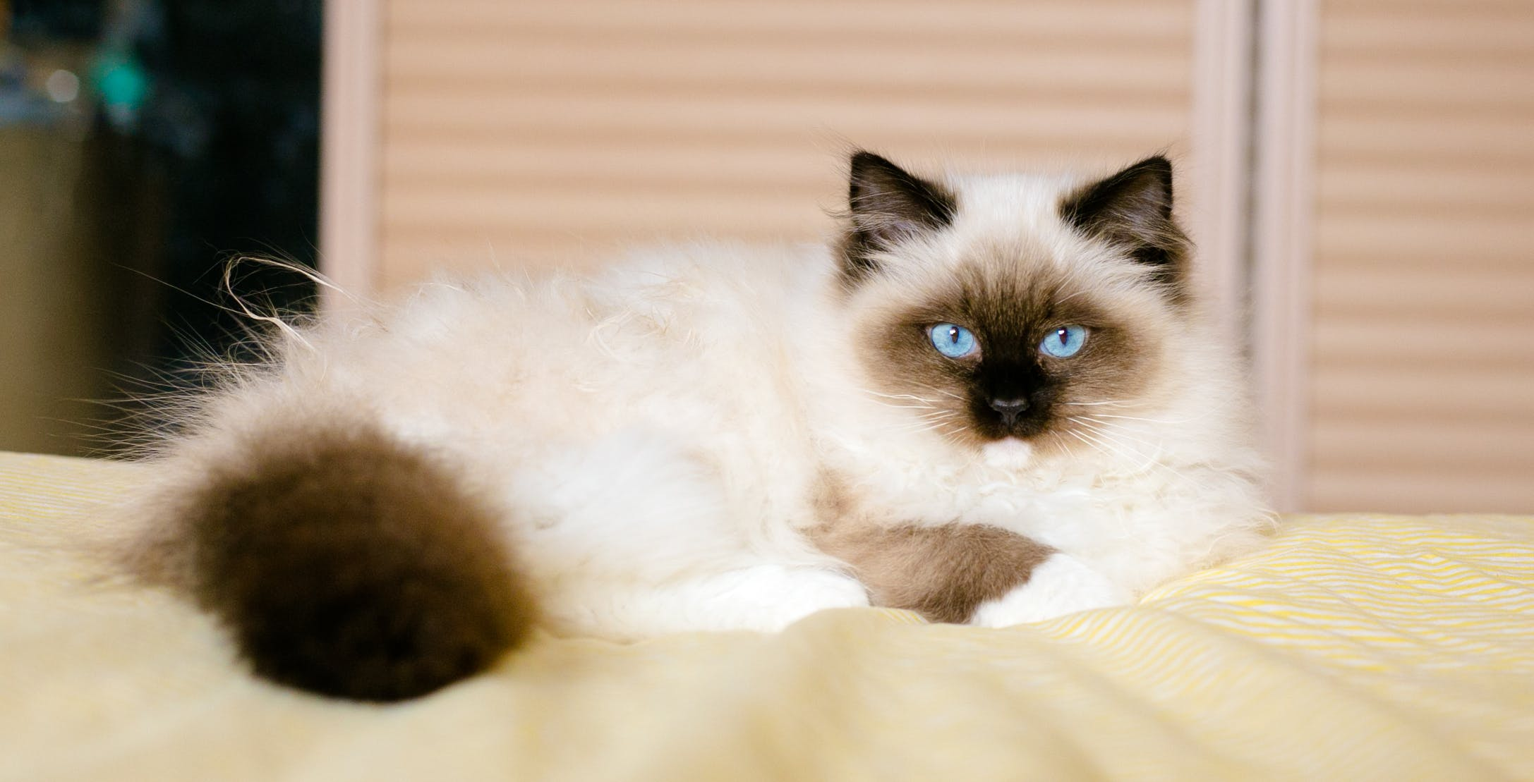 Free stock photo of cat, ragdoll