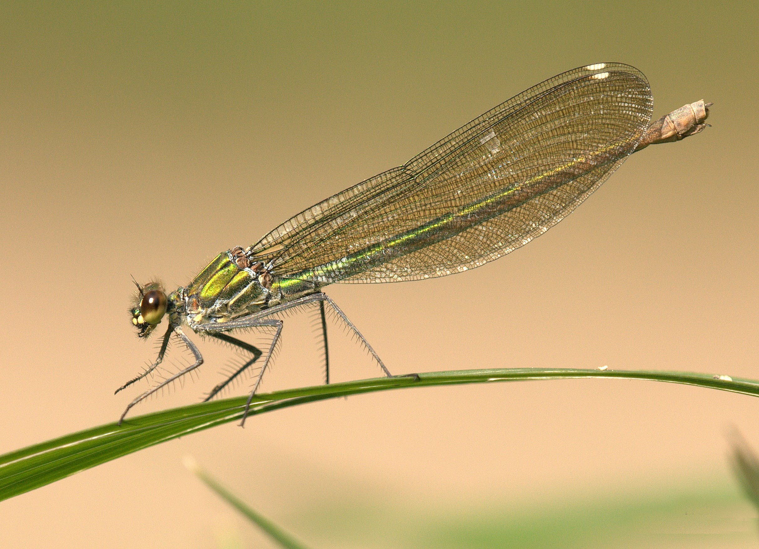Green Dragonfly on Green Grass