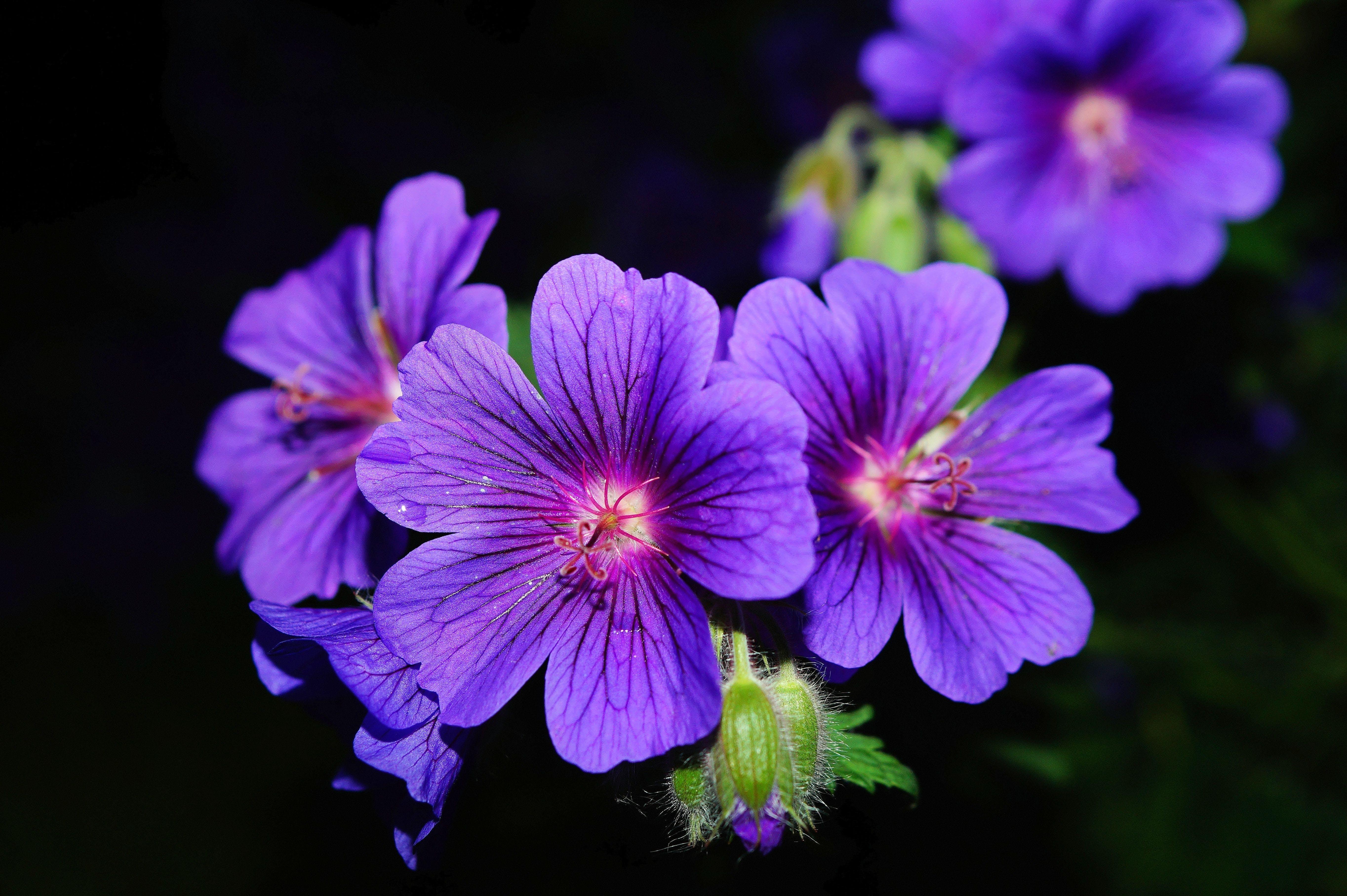 Purple 5 Petaled Flower Close Up Photography