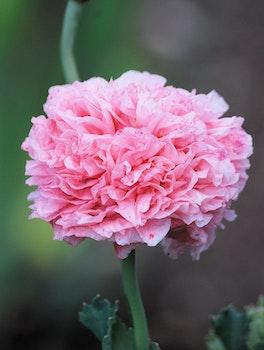 Pink Petals Flower