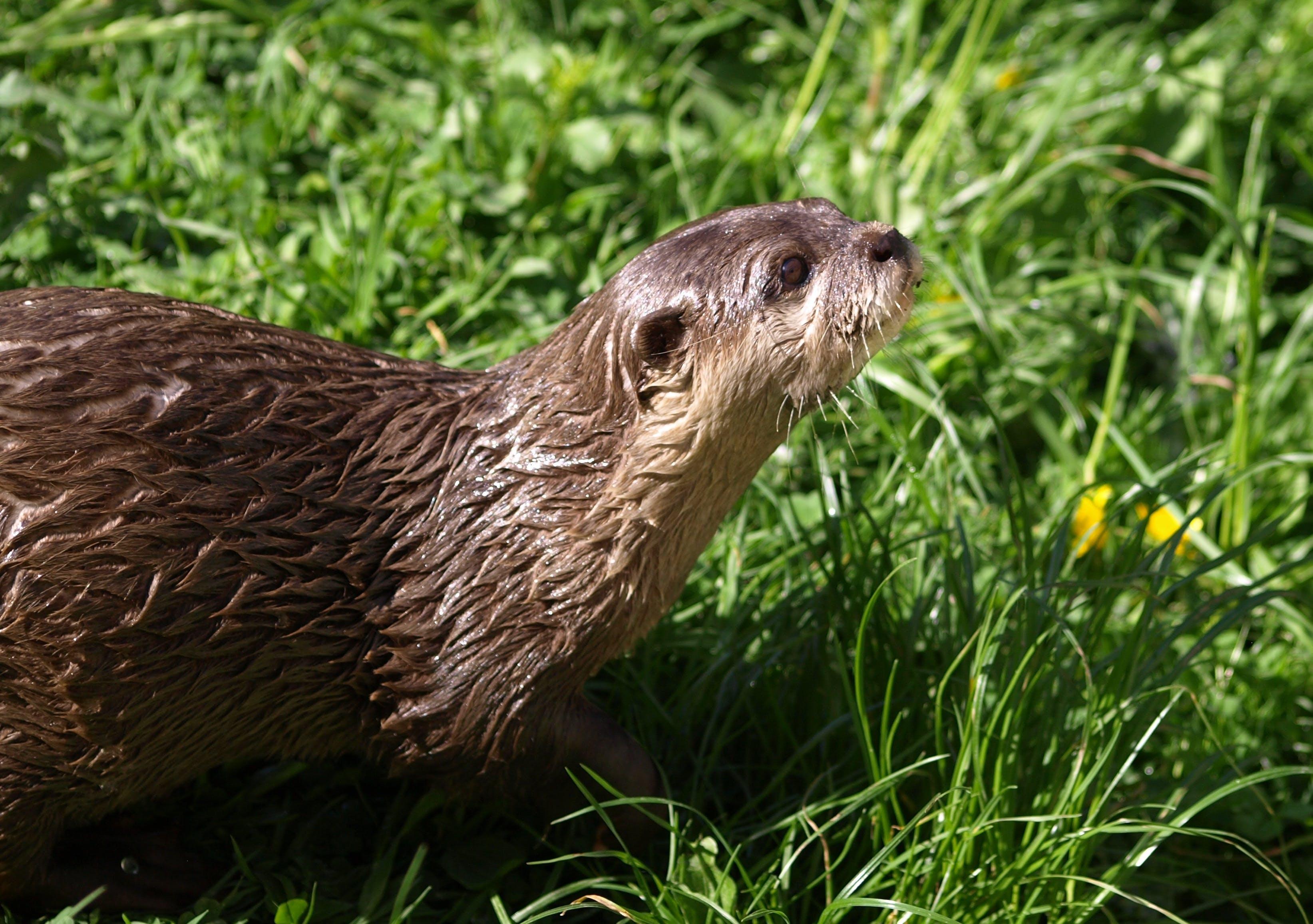 Brown Otter on Green Grass
