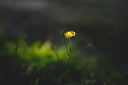 Closeup of bright yellow blossoming flower on thin stem in green grassy meadow