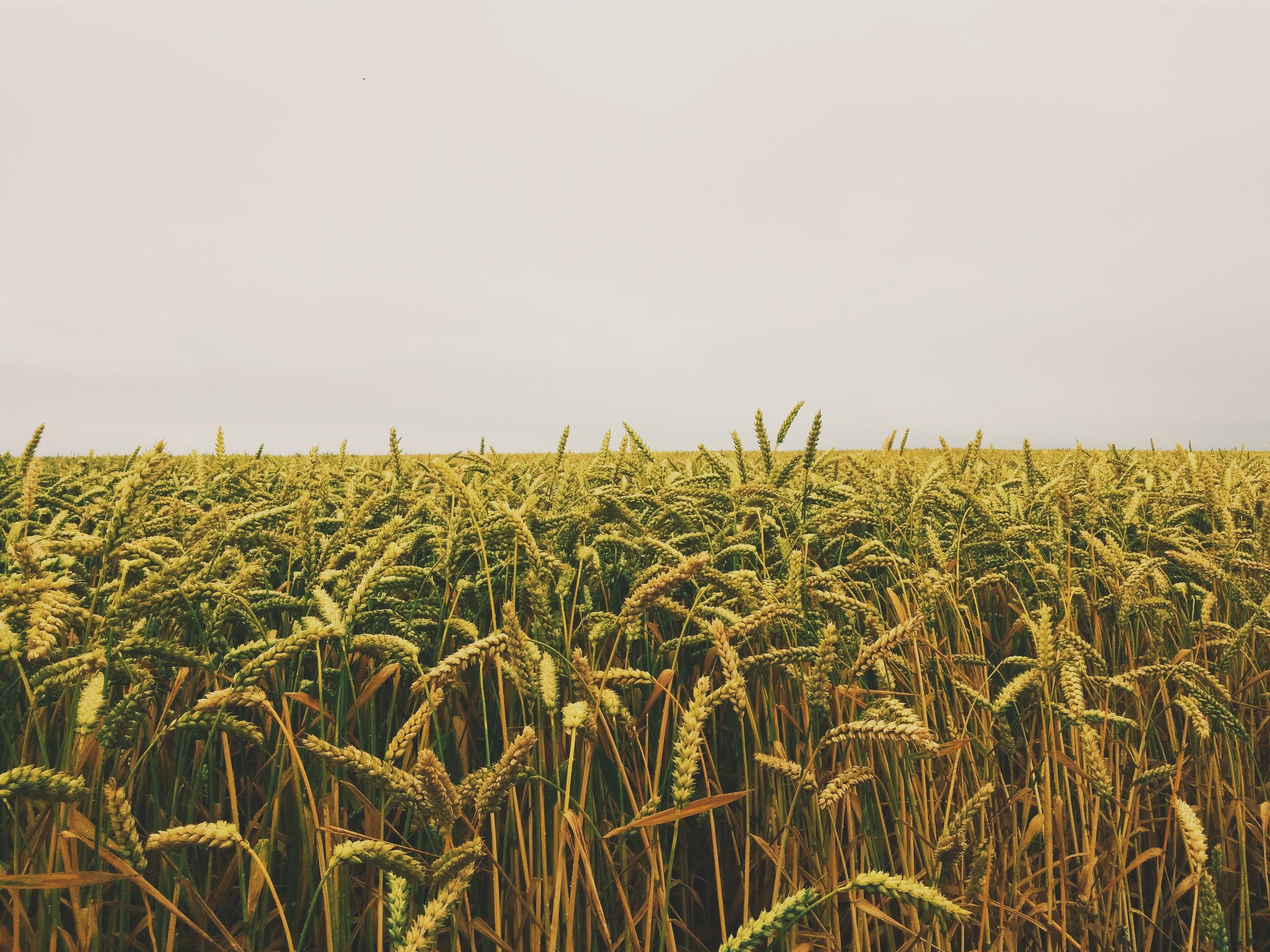 Wheat Field Under Gray Sky