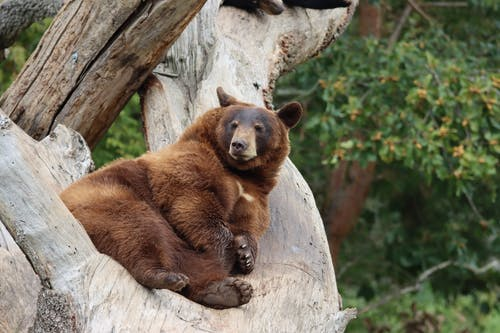 A Bear Sitting on a Tree