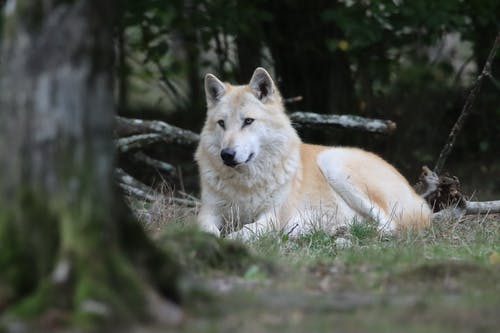 Brown Wolf Lying on Green Grass