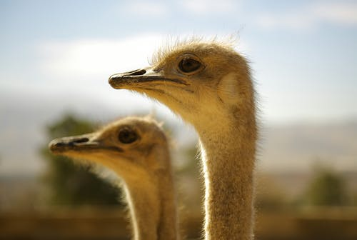 Selective Focus Photography of Two White Ostrich
