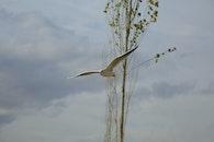bird, flying, seagull