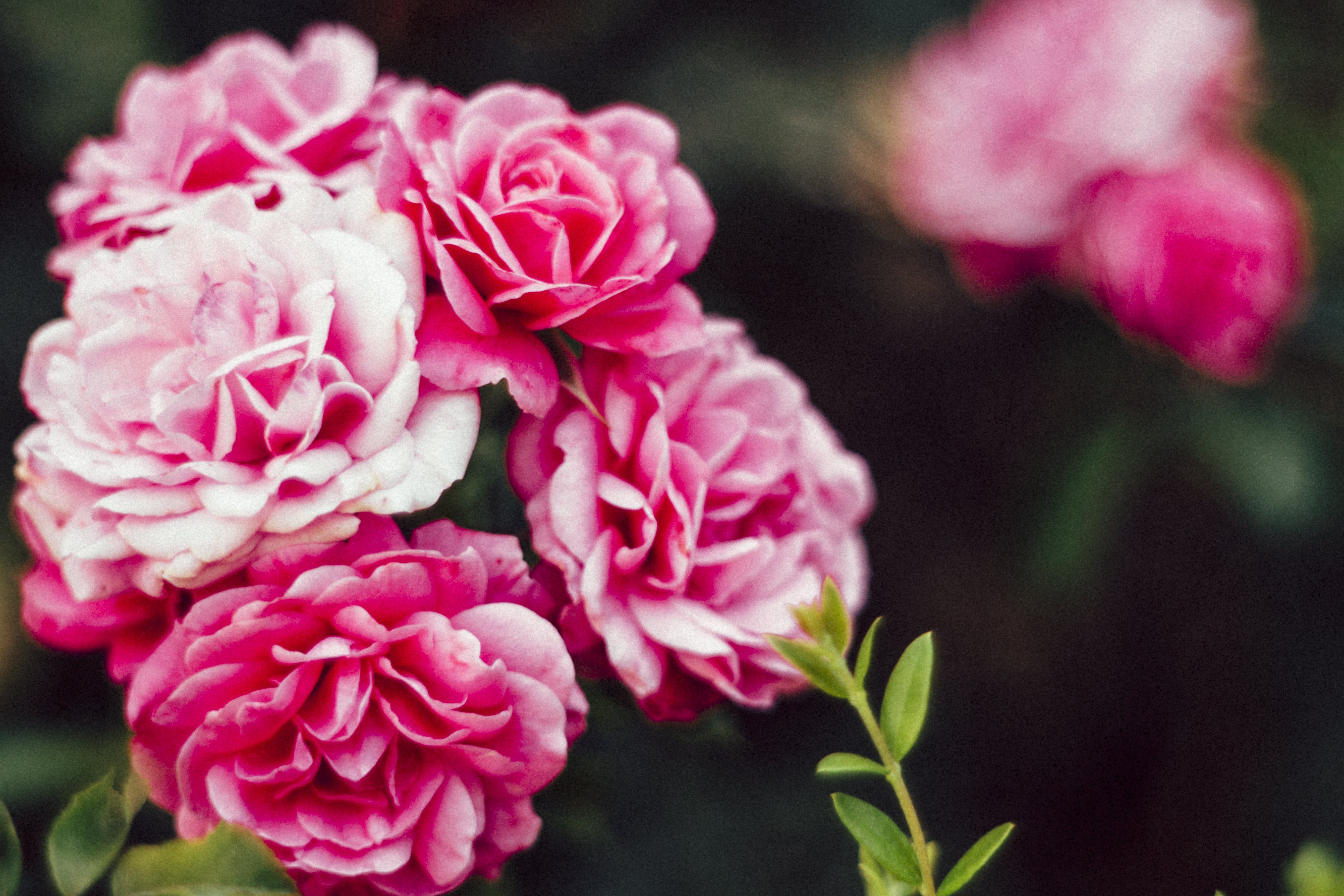Selective Focus Photo of Pink Flowers