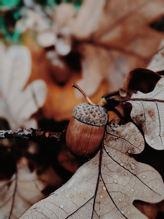 Brown and White Round Fruit on Brown Dried Leaves