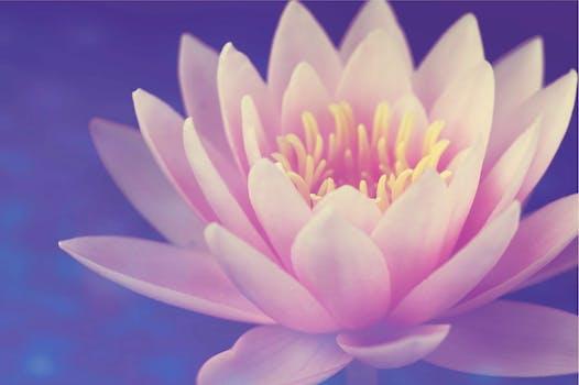 Free stock photo of flowers lotus nature - Image fleur de lotus ...