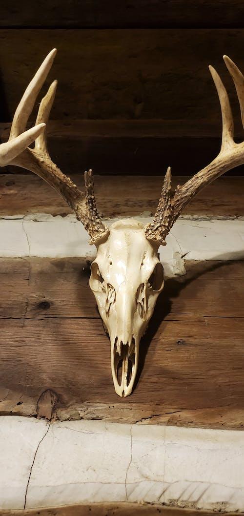 Free stock photo of buck skull, deer skull
