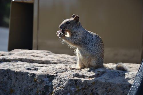 doğa, hayvan, sevimli, sincap içeren Ücretsiz stok fotoğraf