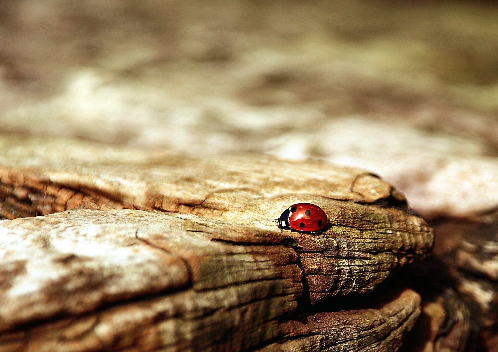 Lady Bug Above the Brown Wood in Macro Photography