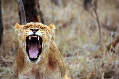 Kostenloses Stock Foto zu afrika, brüllen, fauna, löwe