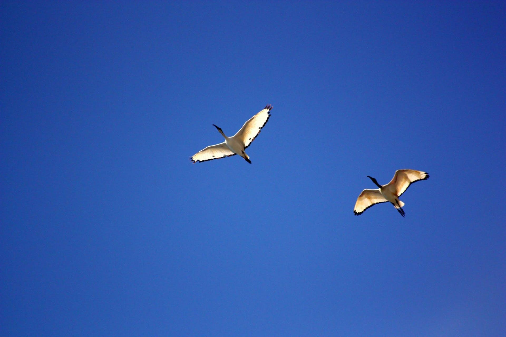 Kostenloses Stock Foto zu blau, fliegen, flug, gans