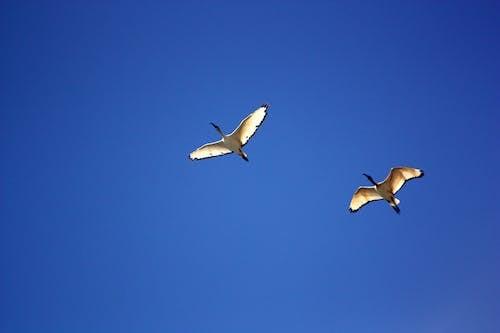 こうのとり, ガチョウ, シャープ, フライトの無料の写真素材