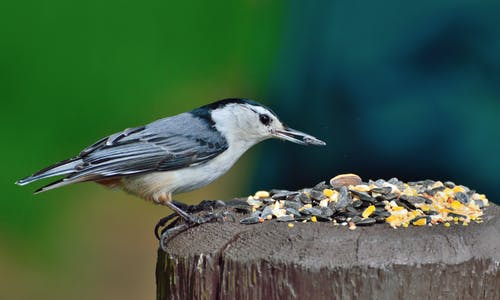 ナットハッチ, フェザー, 動物, 給餌の無料の写真素材