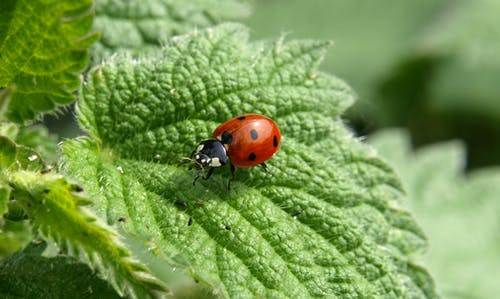 Foto d'estoc gratuïta de animal, beetle, insecte, marieta