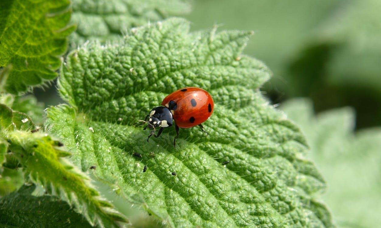 insekt, käfer, marienkäfer