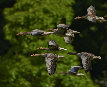 Grey Brown Bird Flying in a Flock