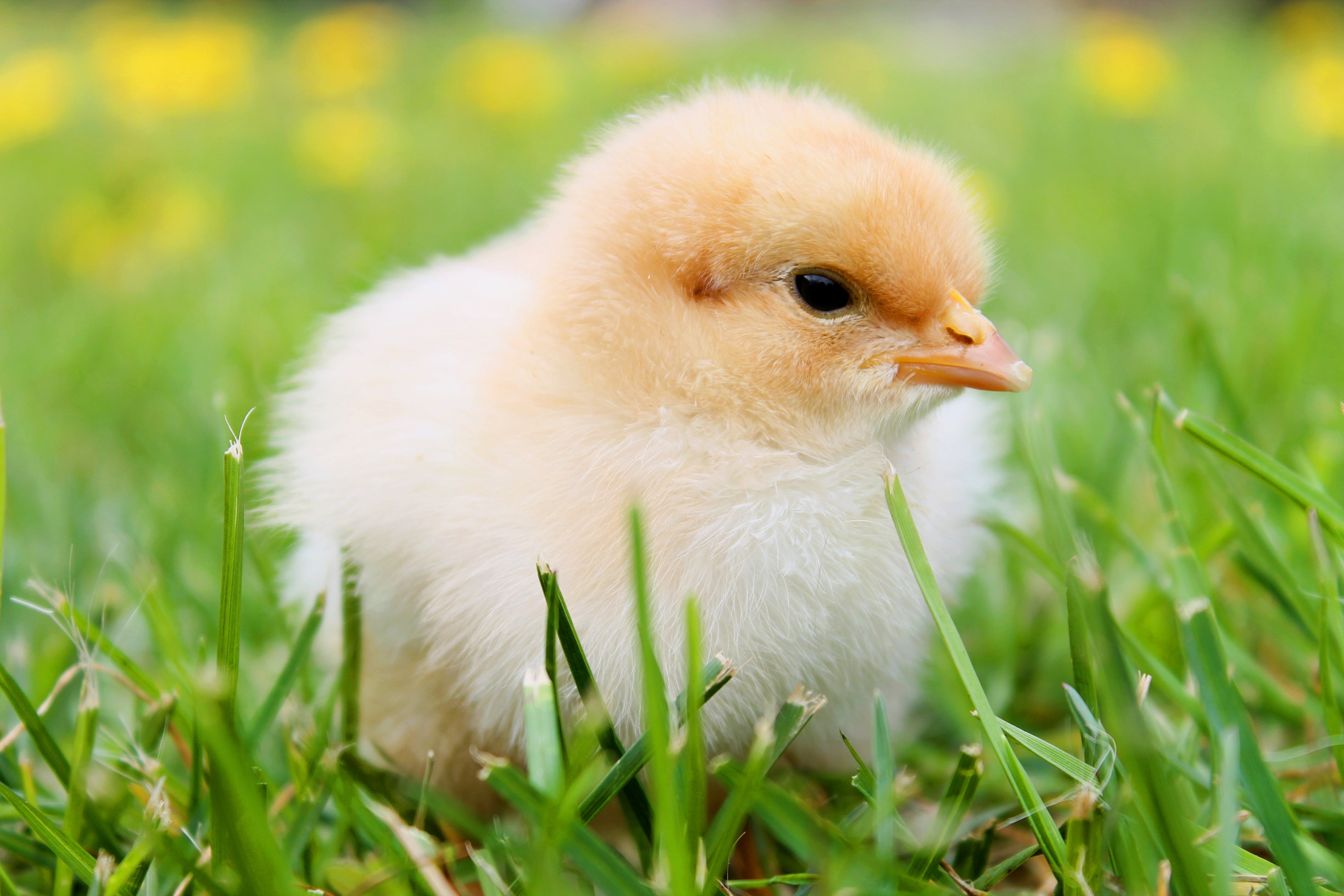 White Duckling on Grass