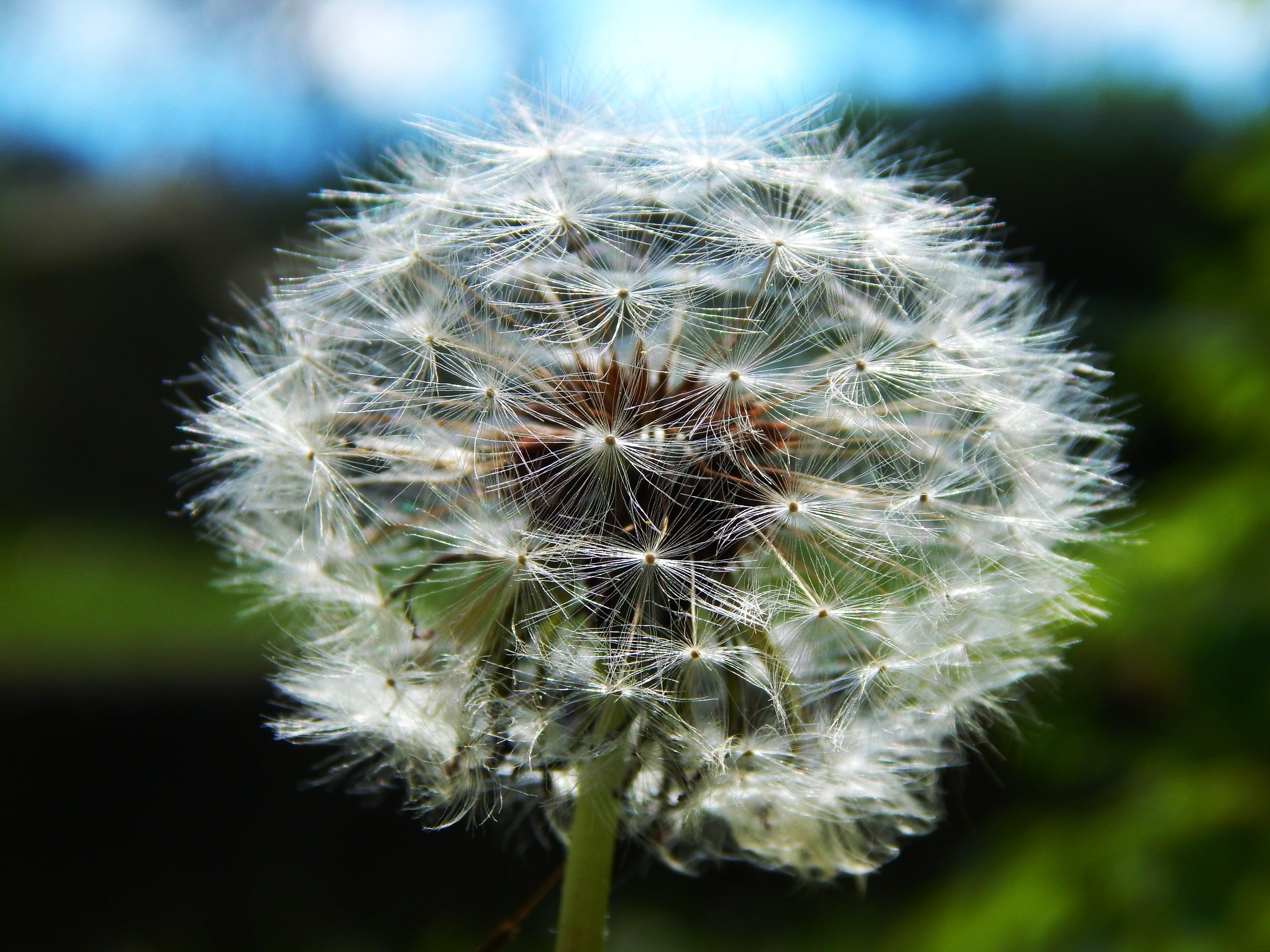 dandelion, dandelions, flower