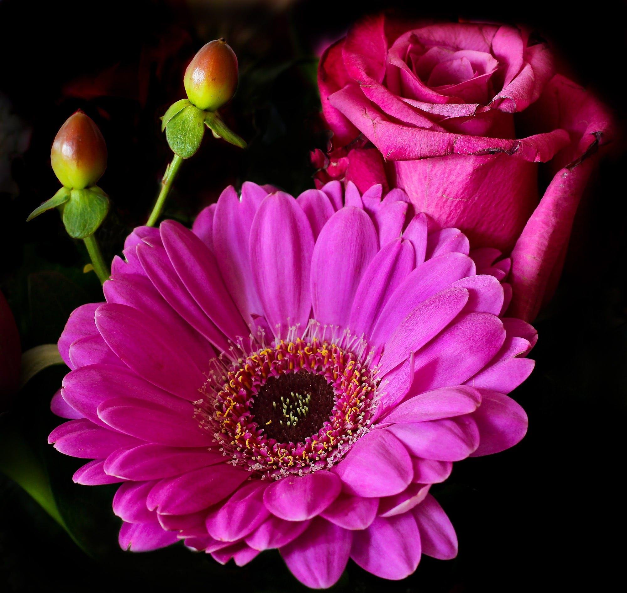 Kostnadsfri bild av blommor, färgrik, gerbera, knoppar