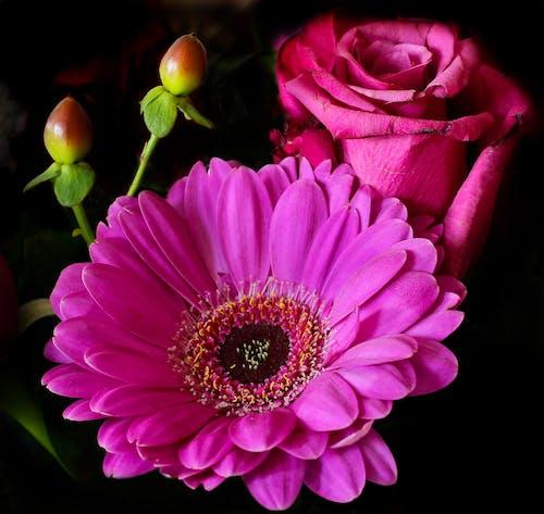 ガーベラ, カラフル, ピンク, フラワーズの無料の写真素材