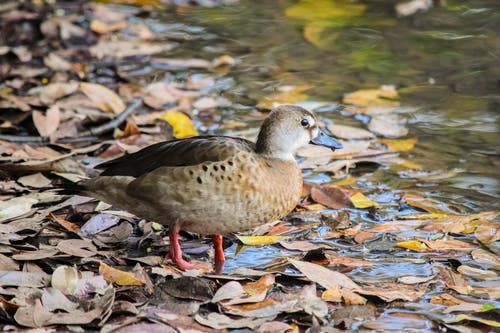 Adorable duck standing on lake shore in autumn forest