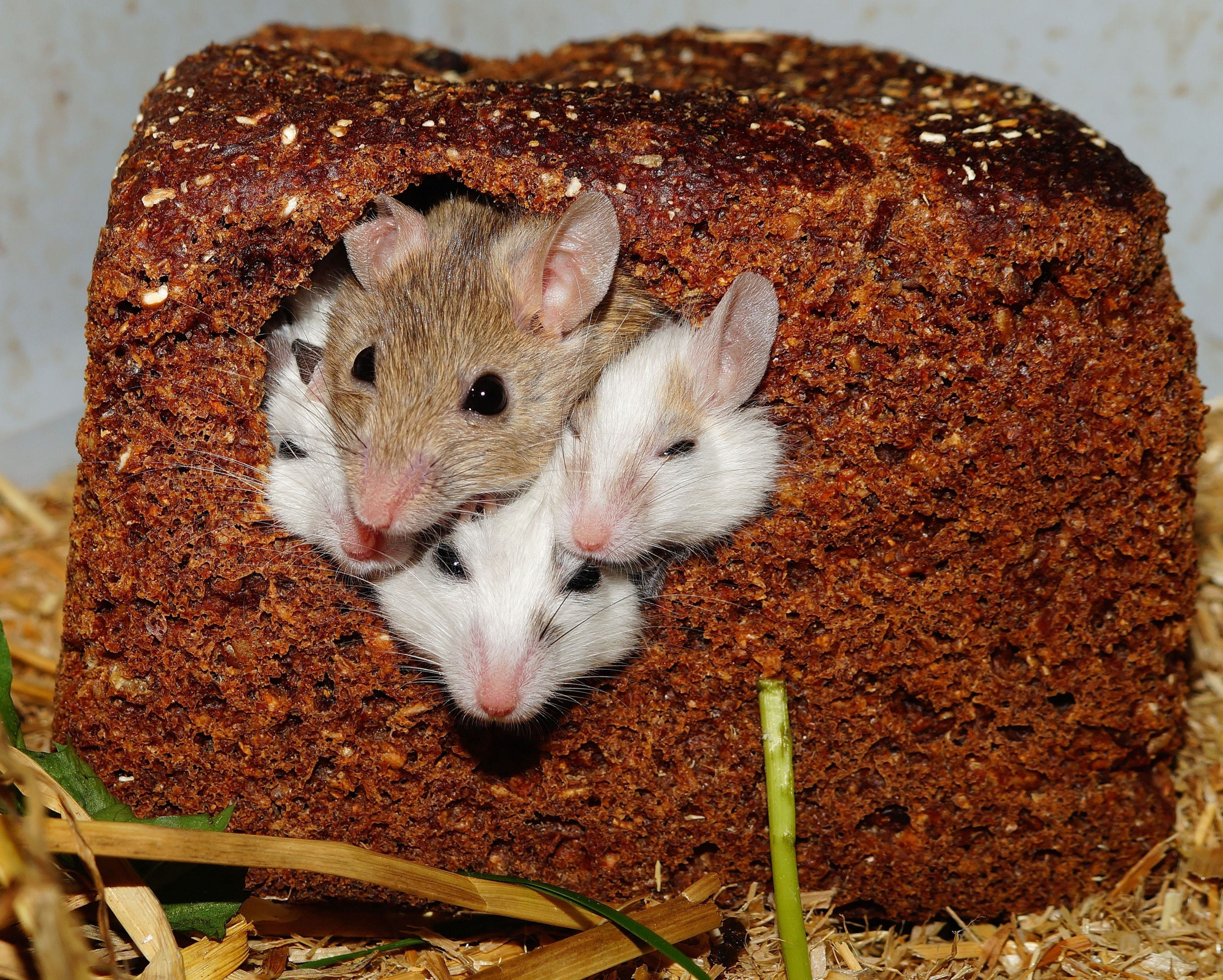 Four Small White Brown Mice Poking Their Heads Out from a Bread Loaf