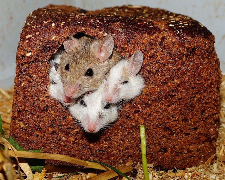 bánh mỳ, chuột, loài gặm nhấm