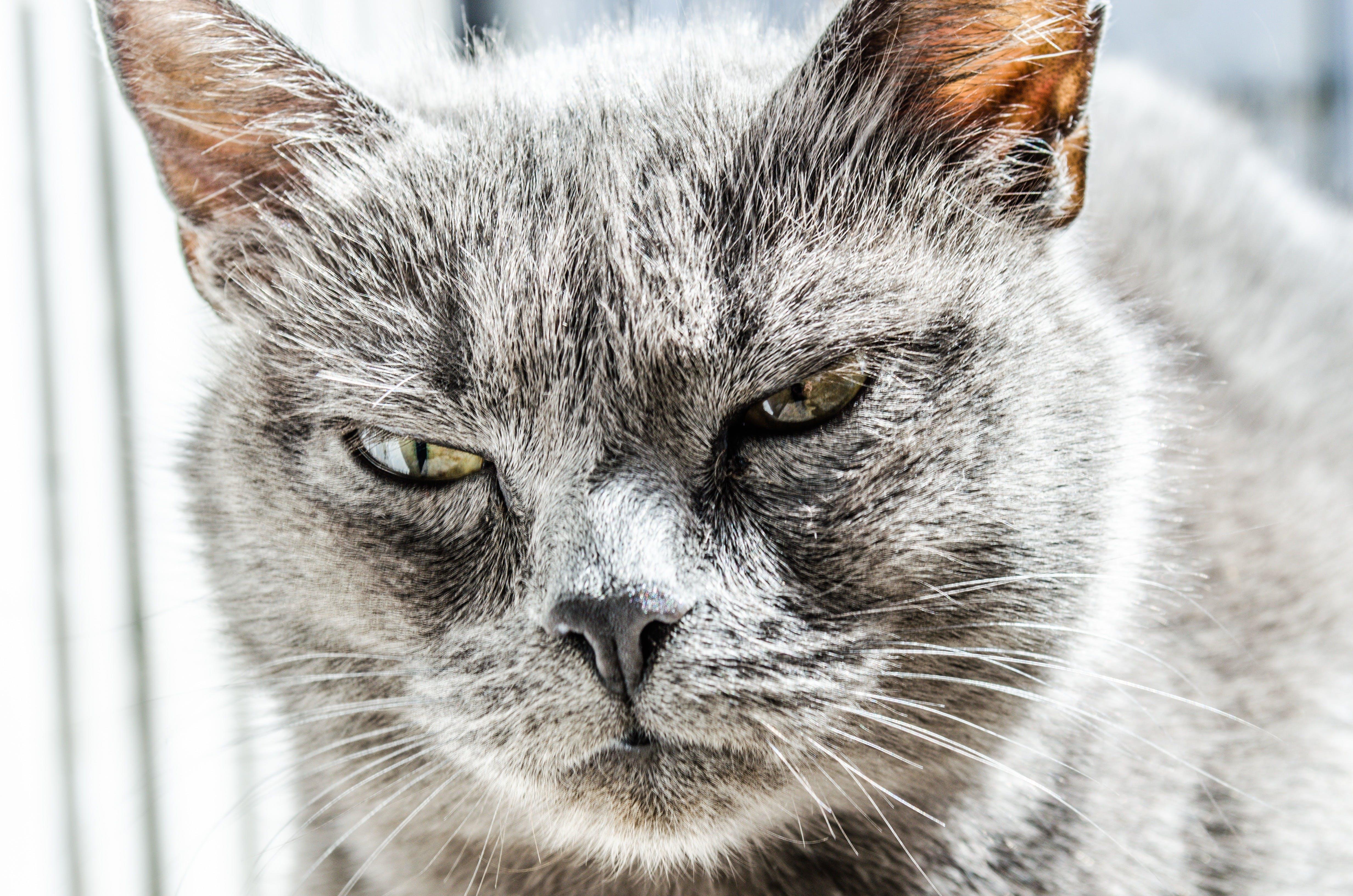 Základová fotografie zdarma na téma domácí mazlíček, kočka, kočkovití, vousky