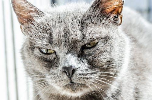 Gray Fur Coated Cat