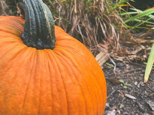 Photos gratuites de agriculture, aliments, automne, citrouille