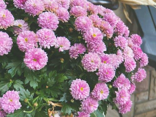 Photos gratuites de amour, bouquet, brillant, chrysanthème