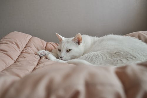 White Cat Lying on Pink Textile