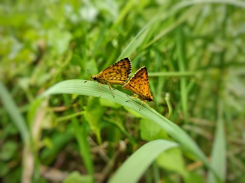 Free stock photo of butterfly - insect, butterfly mating, closeup, love