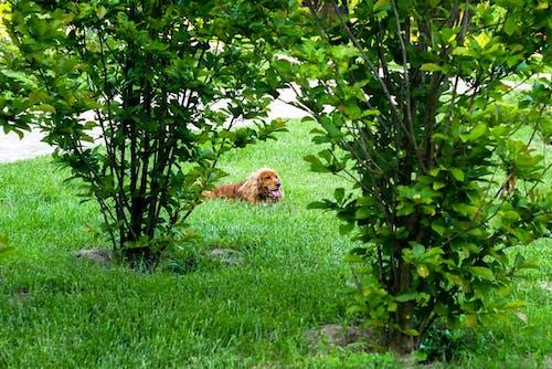 Photos gratuites de buissons, cacher, chien
