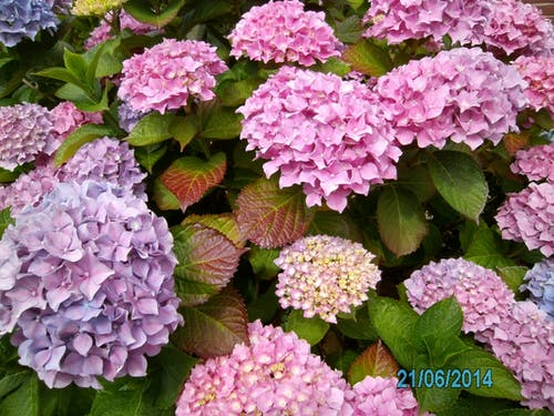 Fotos de stock gratuitas de hortensia