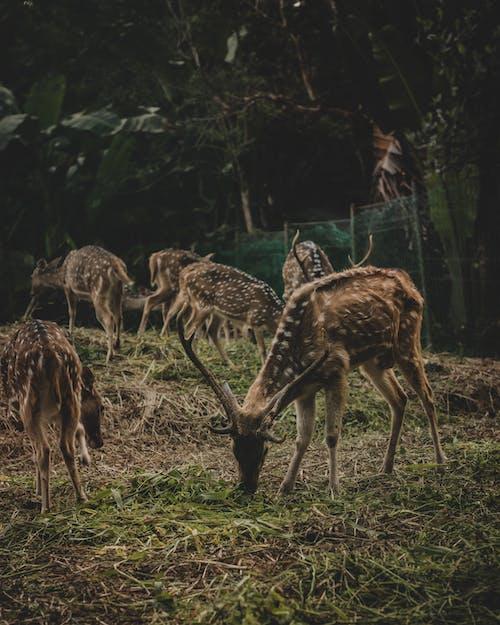 Herd of Deer Eating Green Grass