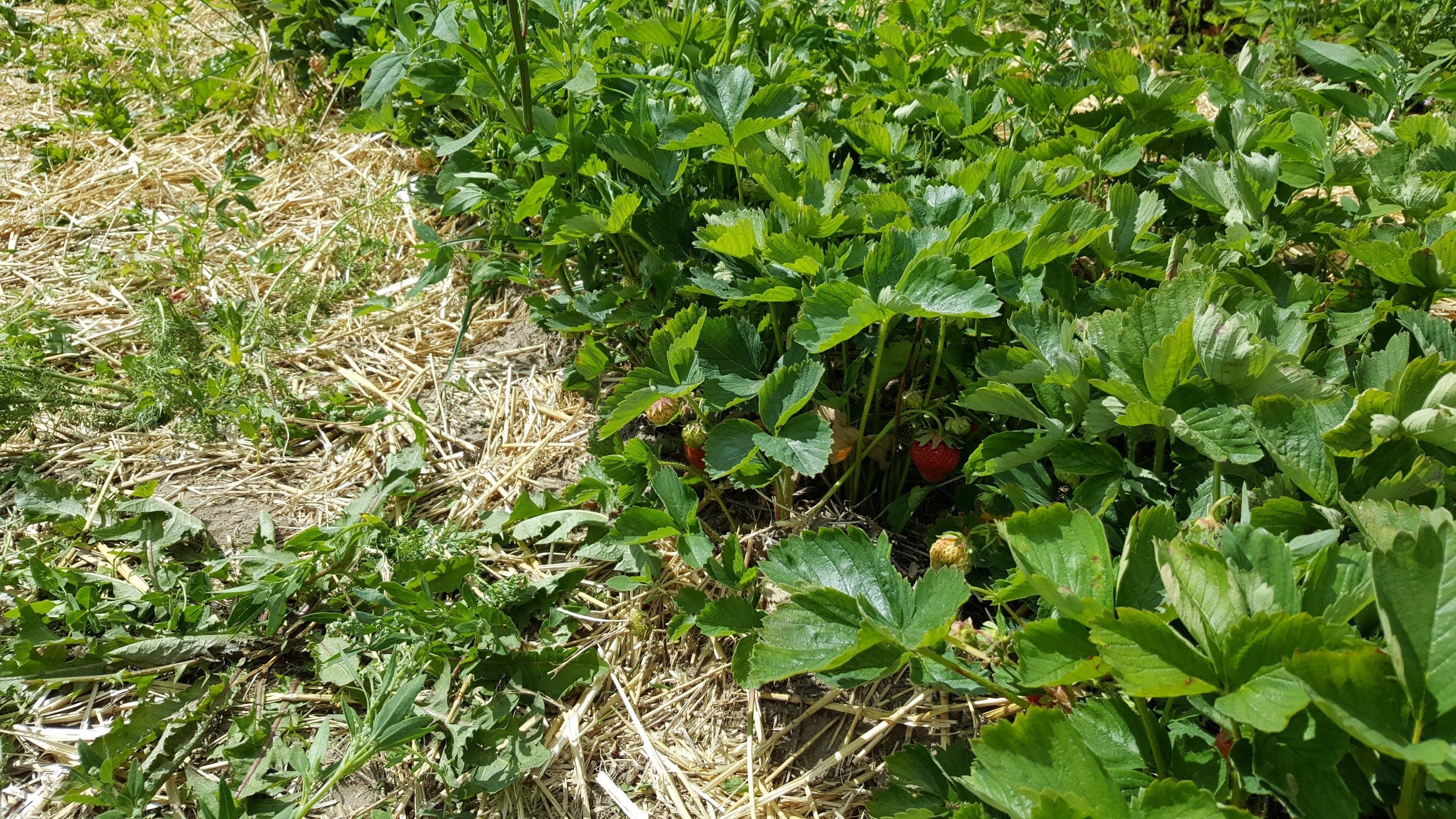 Kostenloses Stock Foto zu bauernhof, erdbeere, erdbeeren, felder