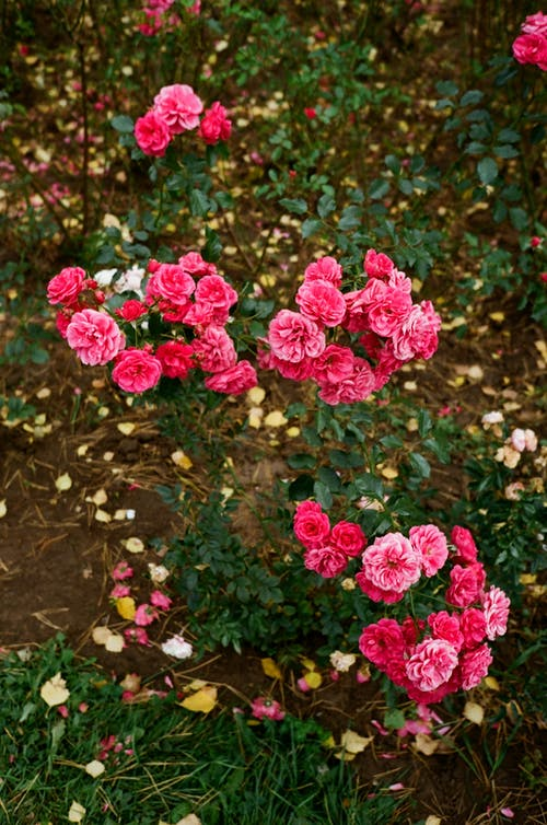 From above of pink bloomed flowers with green delicate leaves growing in autumn park