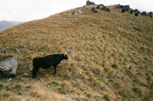 From above of cow eating grass on mountain near stones on farmland in daylight